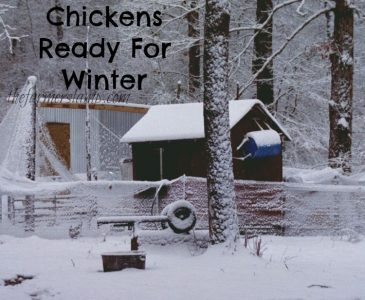 Chickens Ready For Winter