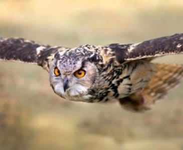 owl swooping in for kill for how to keep predators away from chickens