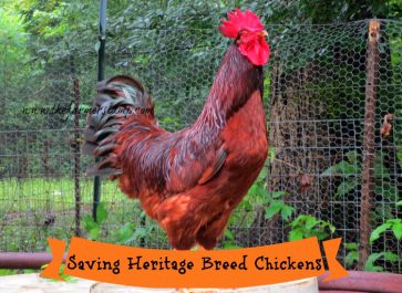"""Rhode Island Red Rooster, """"Red"""""""