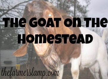 the goat on the homestead