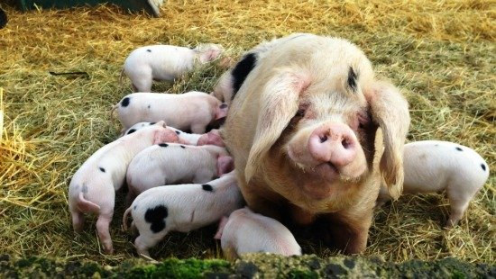 Gloucestershire Old Spot Heritage breed of pigs