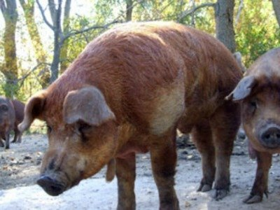 Red Wattle Heritage breed of pigs
