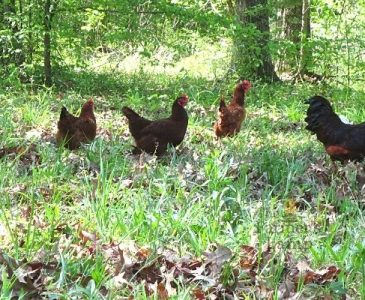 free range chickens for how to free range chickens