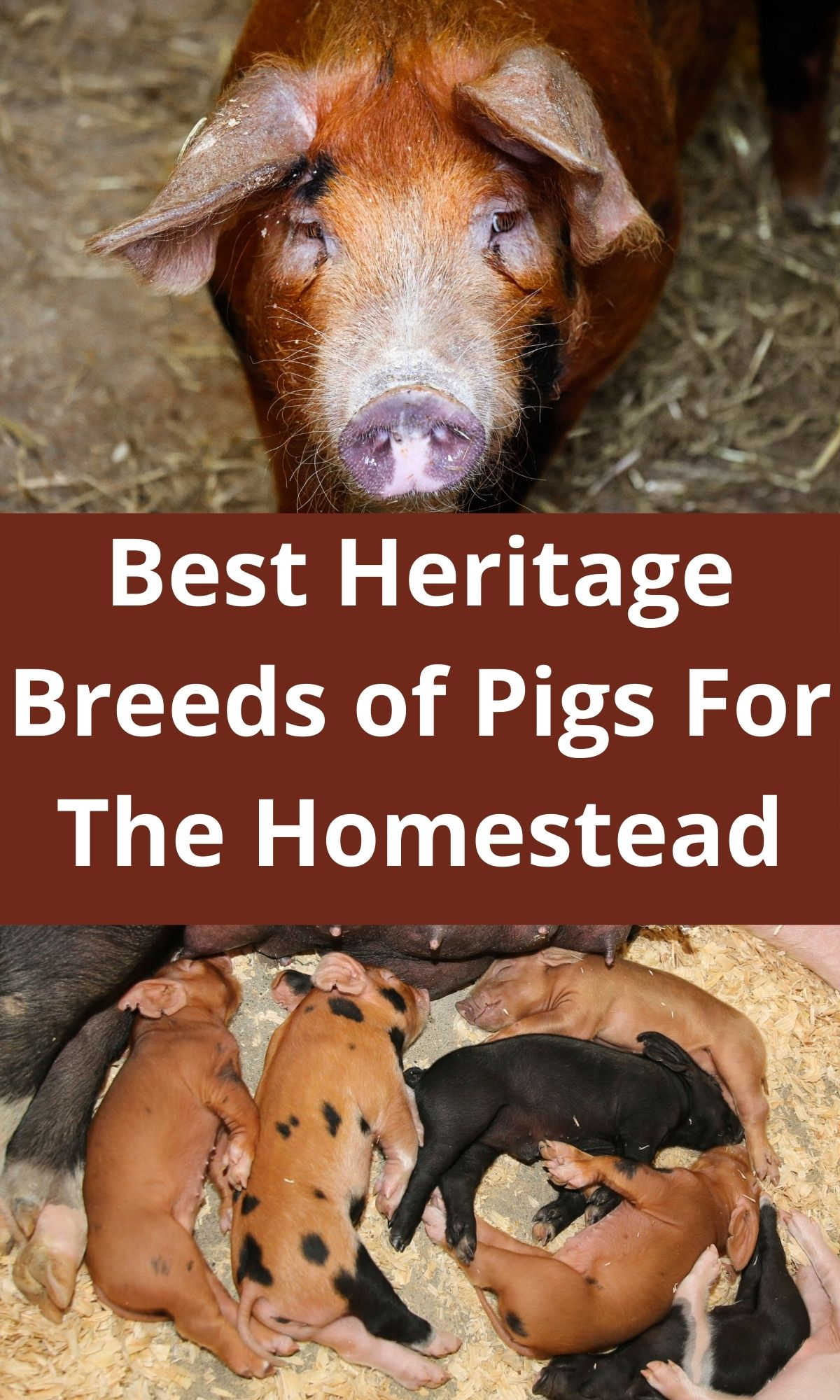 red wattle sow and piglets for heritage breeds of pigs PIN