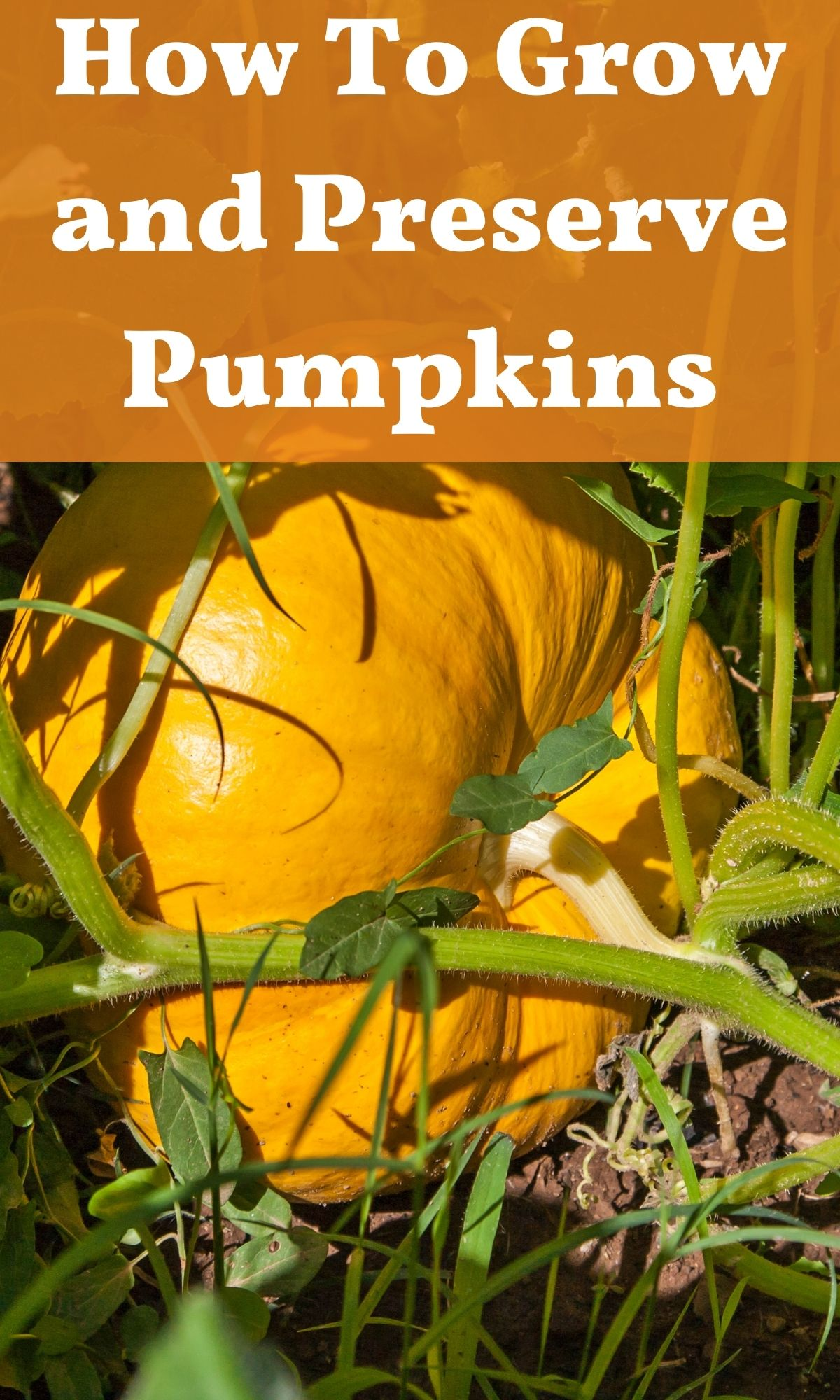 pumpkin growing in field for how to grow and preserve pumpkins