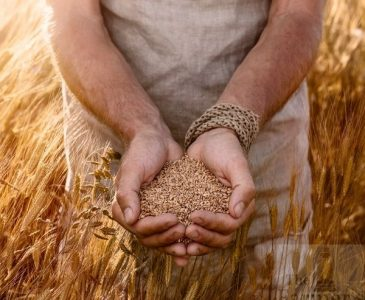 Einkorn Wheat Field with a man holding Einkorn Wheat kernels in his hands
