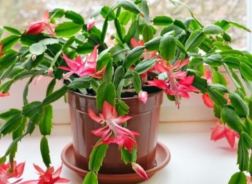 Christmas Cactus Care with pink flower