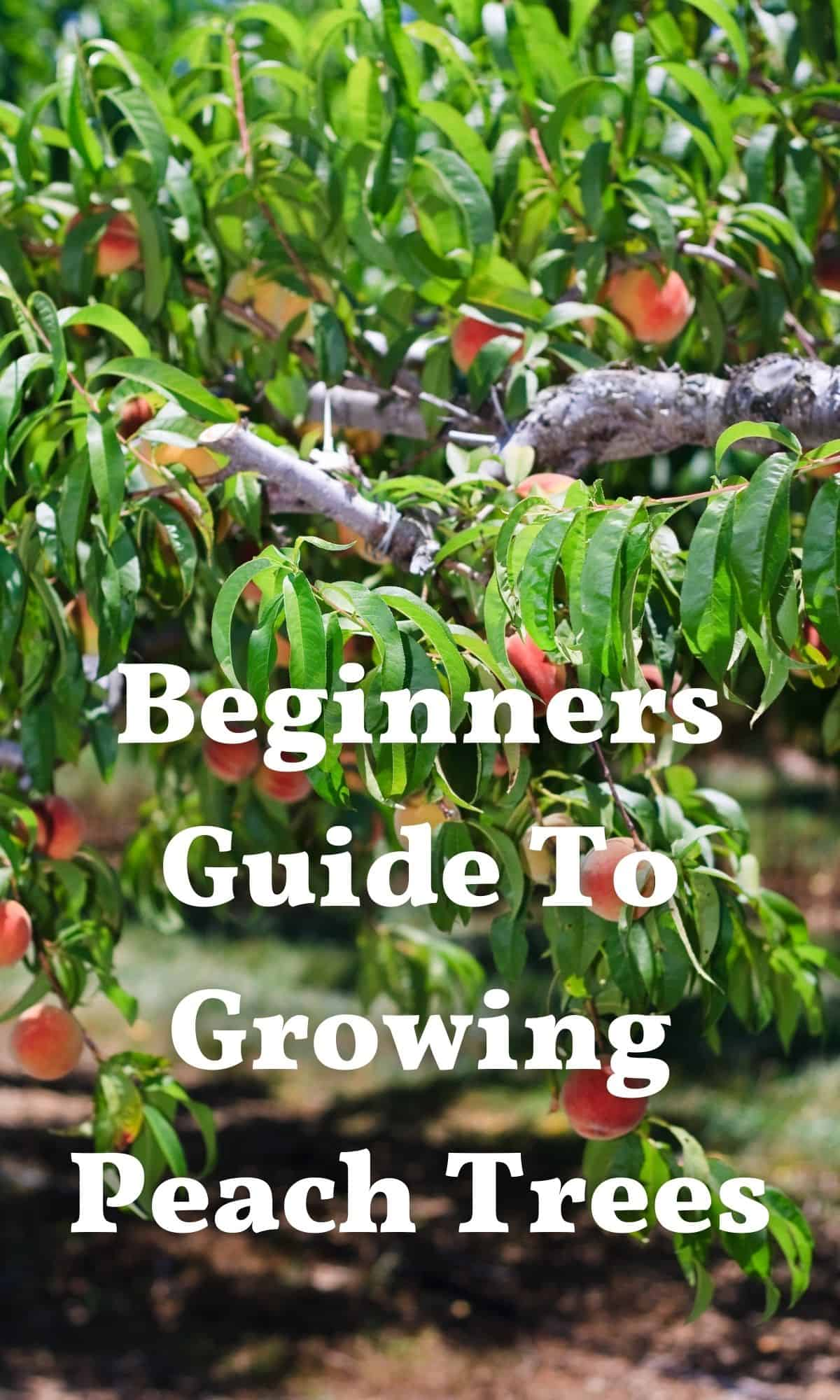 growing peach trees loaded with peaches