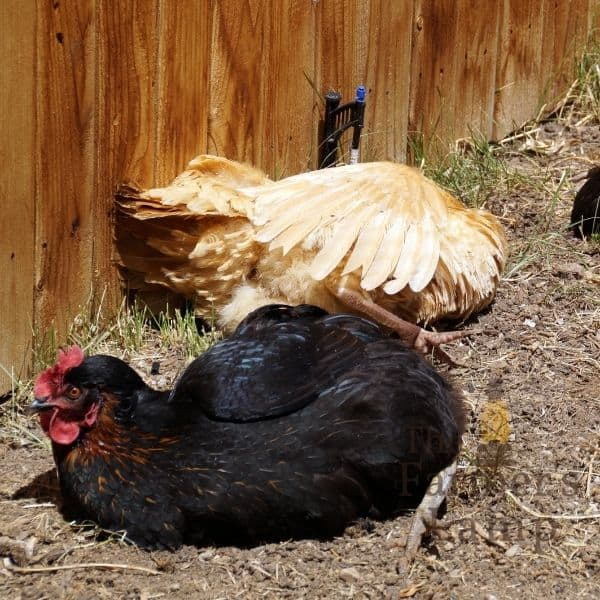 chickens in dust bath with wood ash