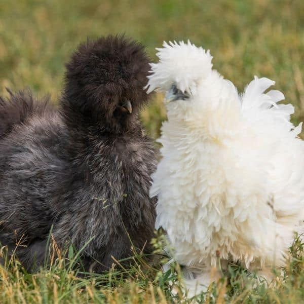 black and white Silkie chickens of the Silkie chicken breed