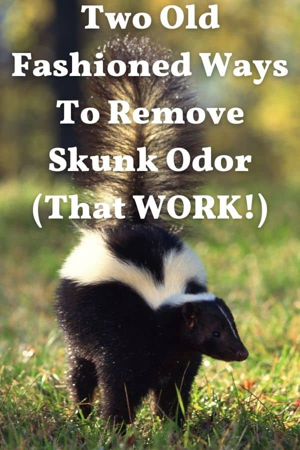 skunk ready to spray for how to remove skunk odor