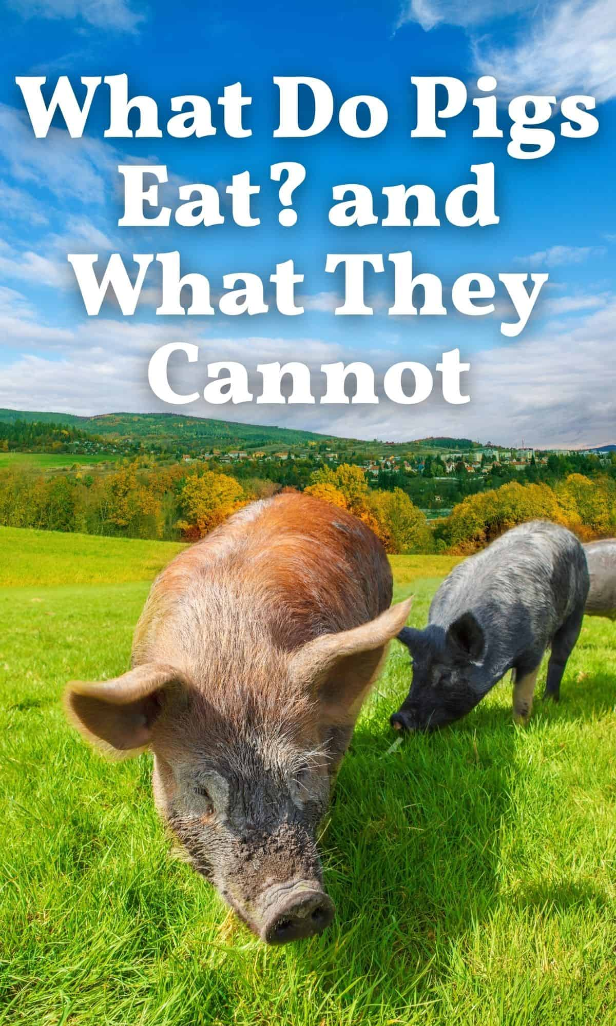pigs on pasture for what do pigs eat Pin