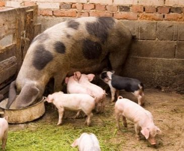 pigs eating for what do pigs eat